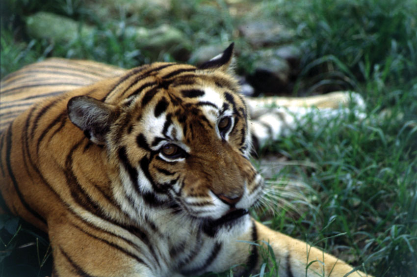 Tiger (Incredible India)