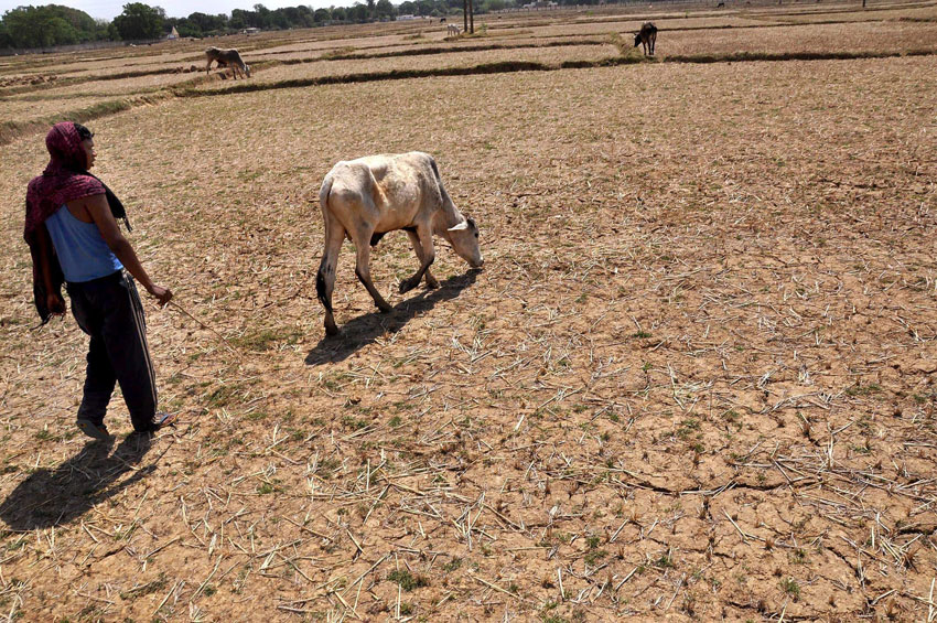 A farmer herds his cattle in a parched field on a hot summer day in Ranchi, Jharkhand, April 26. (Press Trust of India)