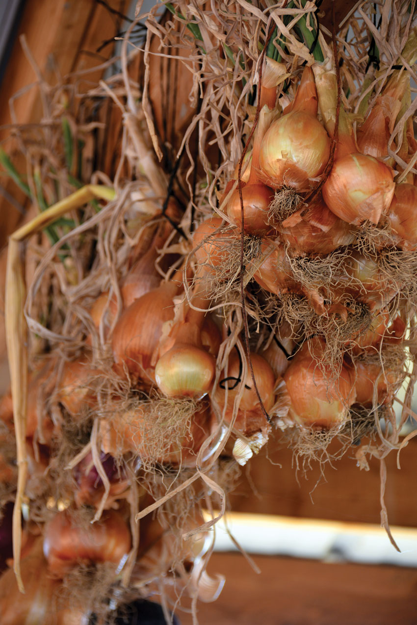 Organic onions hanging inside of the sheds at Veggielution farm.